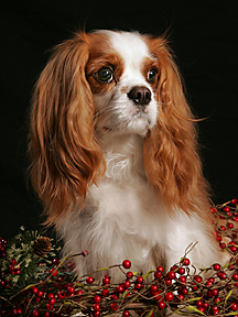 cavalier king charles spaniel in berries, Vienna dog photographer
