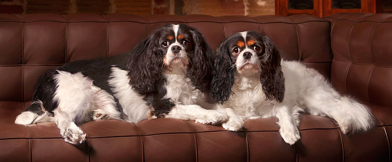 Cavaliers on couch, DC dog photographer